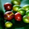 Грибок кофейных ягод