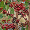Болезни и вредители кофейного дерева