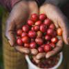 Панамский кофе завоевывает японский рынок