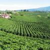 Бразильские наркобароны переходят на производство кофе