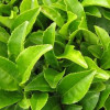 Кому нельзя пить зеленый чай