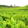 Недуги обходят зеленый чай стороной
