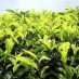 Зеленый чай и иммунитет