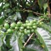 Какой кофе содержит наименьшее количество кофеина?