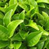 Зеленый чай полезен для сердца, подверждают 40 000 человек