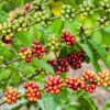 Эксперты назвали сроки полного исчезновения кофе на Земле