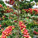 О кофейном дереве