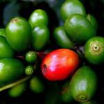 Неизвестный сорт гигантского кофе живет на Мадагаскаре