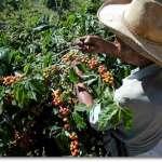 Планета кофе: Ямайка