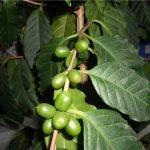 Кофейные деревья атакуют паразиты