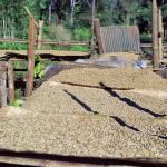 Производство кофе сокращается