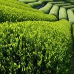 Зеленый чай спасает от сепсиса