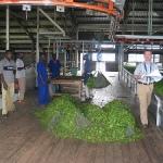 Виды чая на Шри-Ланка