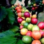 Кофе. Что такое кофе?
