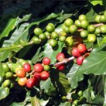 Кофе Арабика и Робуста