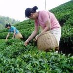 В Грузии в этом году планируется произвести 3000 тонн чая
