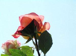Чай из роз для похудения
