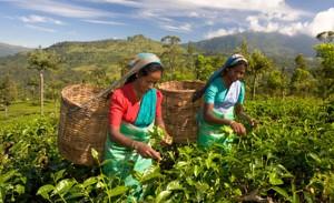 Чайное управление Индии объявило о введени комплекса промышленных стандартов