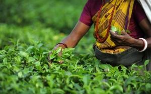 Падение цен на чай не затронет Россию