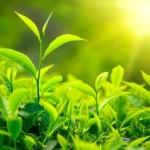 Возможно, чай избавит человечество от СПИДа и болезни Альцгеймера