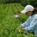 Краснодарский чай вырос на госсубсидиях