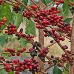 В Иране первый раз предпринимается попытка выращивать кофе