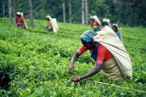 Виды индийского чая