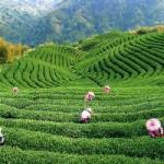 Два самых полезных вида чая