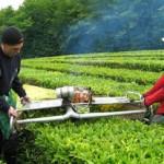 Сочинцев принуждают выращивать чай