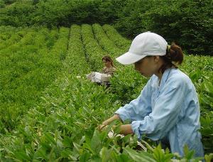 Производство чая на Кубани увеличат в десять раз