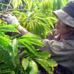 Вьетнам — крупнейший мировой экспортер кофе