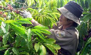 Вьетнам - крупнейший мировой экспортер кофе