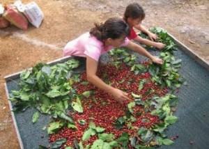 Производство кофе в Колумбии выросло на 41 % в 2013 году