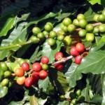 Мексика резко снизила экспорт кофе из-за вспышки инфекции на кофейных деревьях
