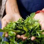 Россия должна диверсифицировать экспорт чая, особенно в случае проблем с Украиной