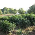 Презентация туристического маршрута — «Чайный» в Адыгее