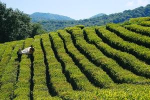 """Презентация туристического маршрута - """"Чайный"""" в Адыгее"""