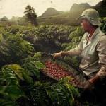 Кофе в Бразилии «обжаривается» прямо на деревьях