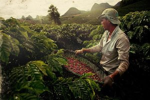 """Кофе в Бразилии """"обжаривается"""" прямо на деревьях"""