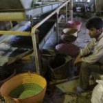 Иранские крестьяне сдали почти 39 тыс. т зеленого чайного листа первого сбора