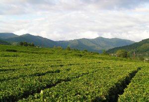 Сочинский чай заслужил международный сертификат качества