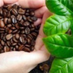 Найдены уникальные гены кофеина