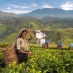 Индия будет продавать чай за рупии в Россию