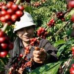 Второй в мире экспортер кофе — Вьетнам