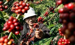 Второй в мире экспортер кофе - Вьетнам