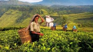 Шри-Ланка намерена увеличить поставки чая в Россию