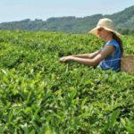 Жители аулов Сочи хотят восстановить чайные плантации