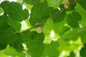 В Узбекистане будут строить фабрику по производству чая из листьев тутовника